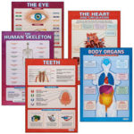 Human Body Posters – Overview of a Main Portion of the Human Body, Labeling Essential Parts