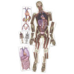 Roylco® Human Anatomy Images – Look Inside Me MRI Scan Reveals more Details of Internal Organs
